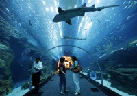 Dubai Mall Aquarium - Sand Tiger Shark Swims Over Pedestrian Tunnel